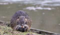 Coypu lunch break