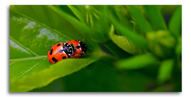 Lady Bug Beetles Mating Macro