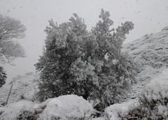 Frozen Olive Tree