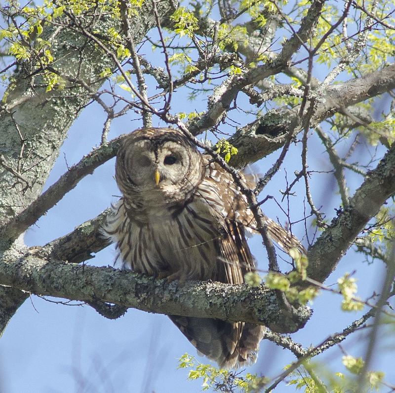 Backyard Owls 3-31-18   Flickr