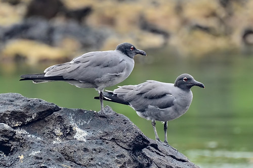 Тёмная чайка, Leucophaeus fuliginosus, Lava Gull | by Oleg Nomad
