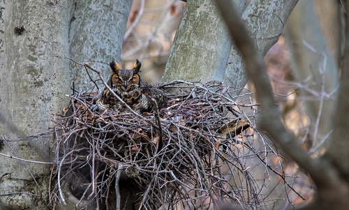 2018 march kevinpovenz westmichigan michigan ottawa ottawacounty ottawacountyparks grandravinesnorth greathornedowl nest sitting branches canon7dmarkii sigma150500 nature wildlife outside outdoors tree mother