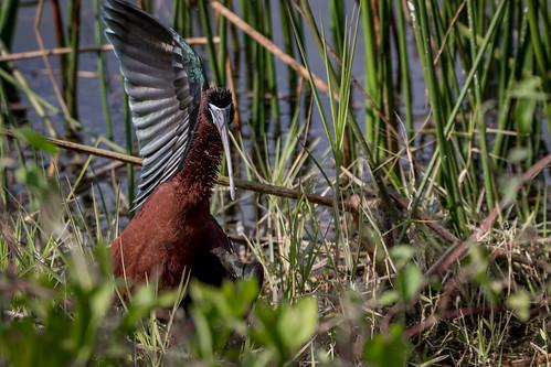 nature outdoor wildlife animal bird glossy ibis male breeding plumage color rich grissom memorial wetlands viera florida fl