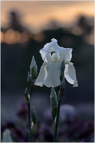 flower 2017 plants presbyirisgarden iris montclair newjersey unitedstates us color colors sunrise white