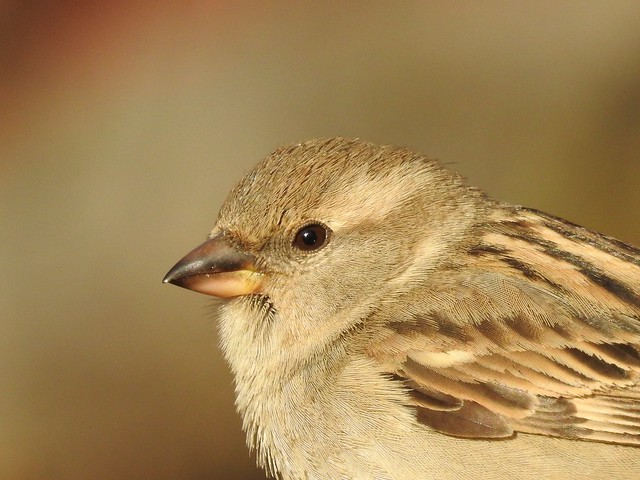 House Sparrow ♀ (Passer domesticus)