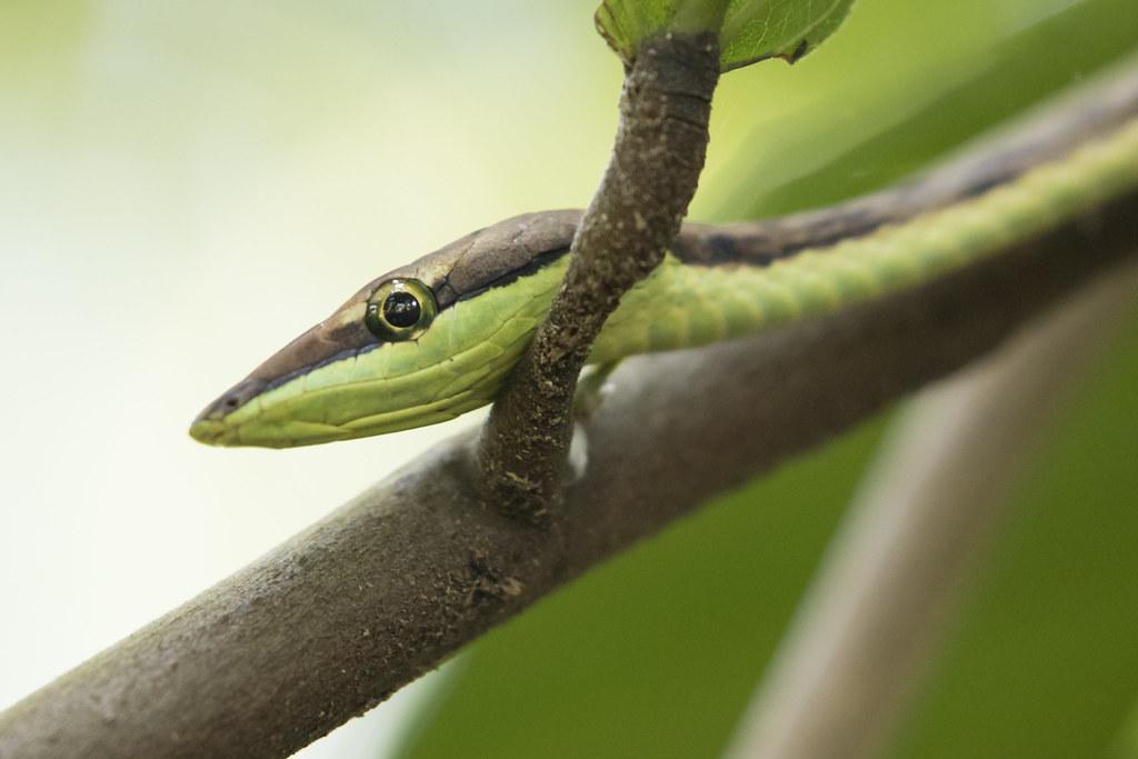 Oxybelis aeneus / Brown vinesnake