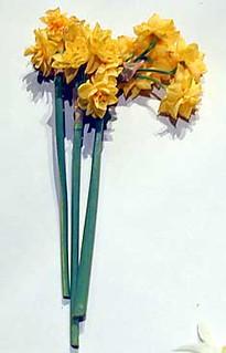 Narcissus tazetta 'Sacred Lily of China'