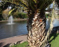 Large Date Palm