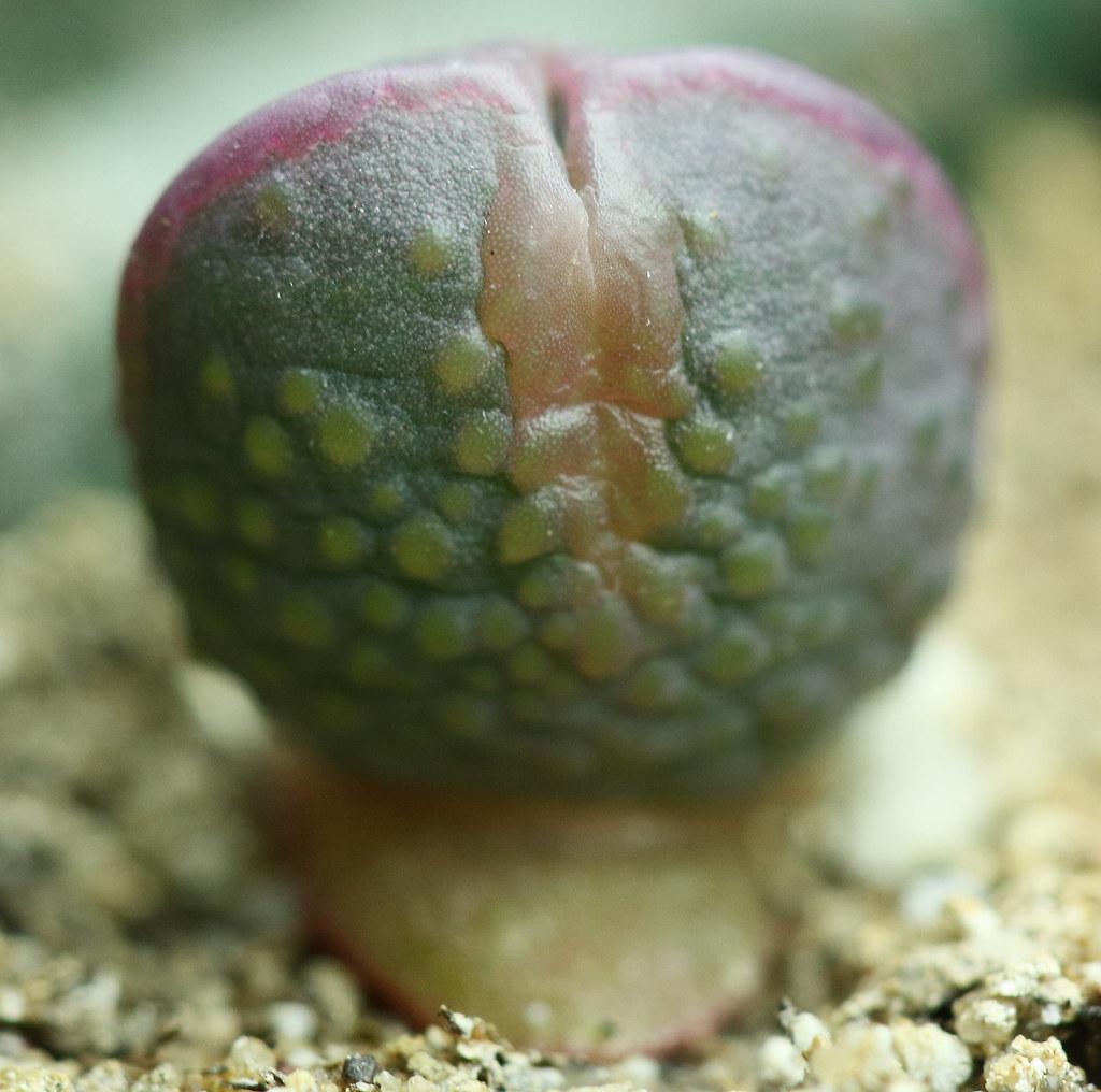 Cheiridopsis peculiaris