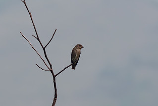 Сибирская мухоловка, Muscicapa sibirica cacabata, Dark-sided Flycatcher | by Oleg Nomad