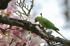 Rose-ringed Parakeet in a Magnolia Tree