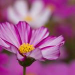 紫色秋櫻 purple flower