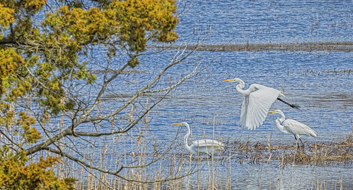 Great Egrets Gathering During Mating Season