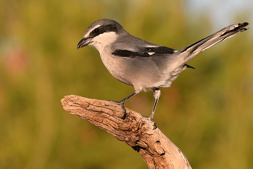 Southern Grey Shrike // Picanço-real | by jvverde
