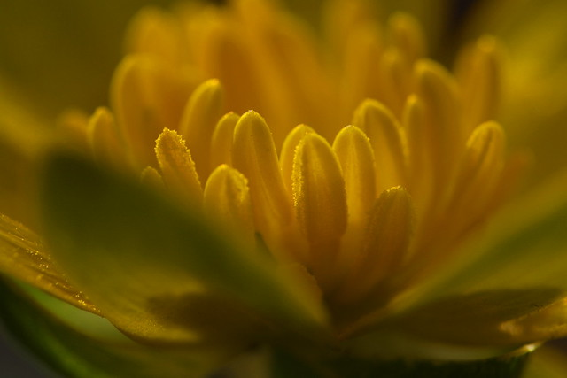 Lesser Celandine Macro - growing at roadside in Fareham, Hampshire, UK