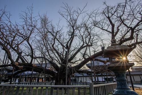 京都市 京都府 japan kyoto 世界遺産 worldheritage 西本願寺 寺院 temple 日の出 sunrise