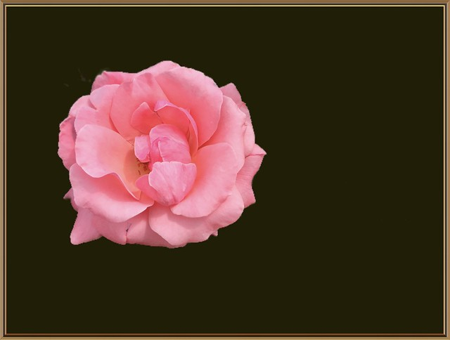 Sonnenberg Gardens & Mansion Historic Park ~ Canandaigua NY ~   Pink  Rose