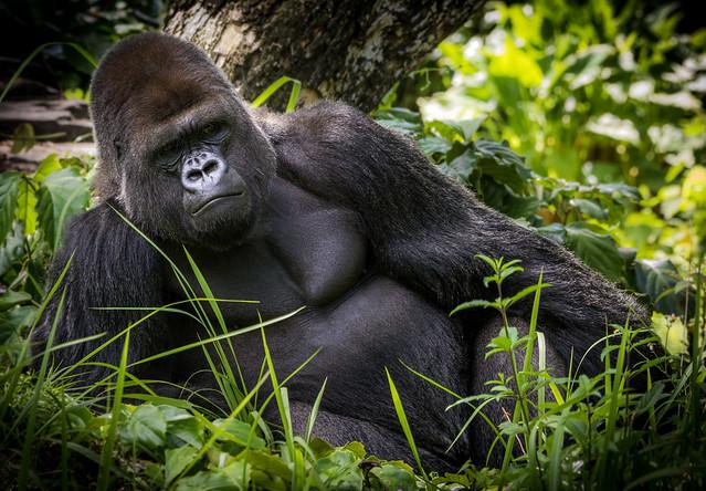 Western Lowland Gorilla (Gorilla gorilla gorilla) lying down