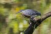 Striated Heron (Butorides striata) by Frank Shufelt
