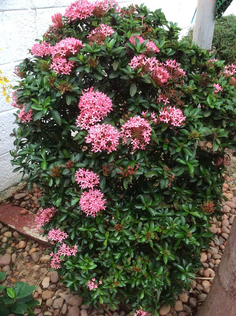 Pink  Ixora in full bloom. -