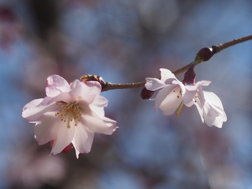 Jugatsu-Zakura cherry ジュウガツザクラ   by lulun & kame