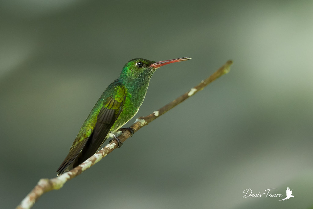 Ariane de Linné - Amazilia fimbriata - Glittering-throated Emerald