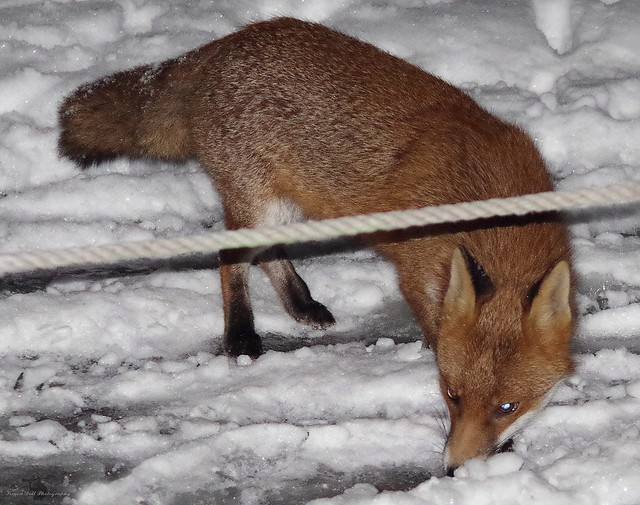 Urban wild red fox in the snow  (5)