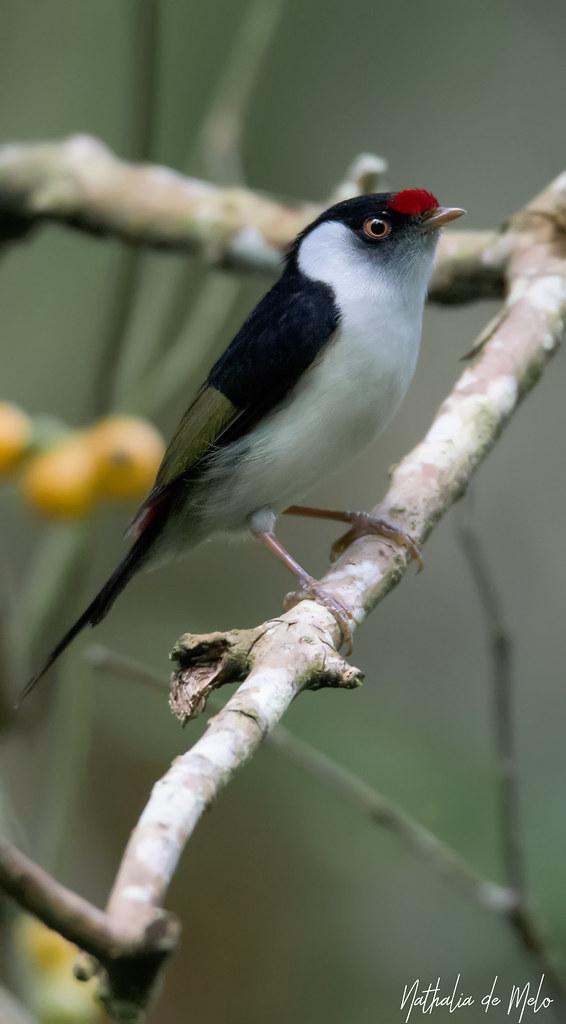 Tangarazinho (Ilicura militaris) - Pin-tailed Manakin