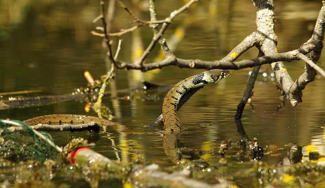 grass snake 20 apr 2018 sheffield (4)