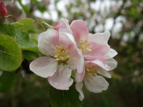 Apple blossom 1 | by janerc