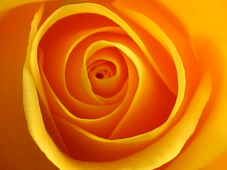 Yellow rose of friendship | by Spiralz