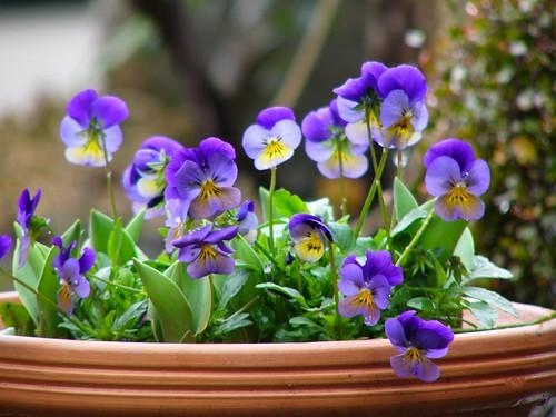 Viola*Turip