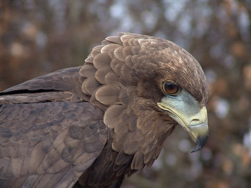 Eagle | by Onechis1