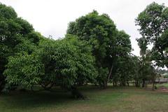mango farm scenes 8