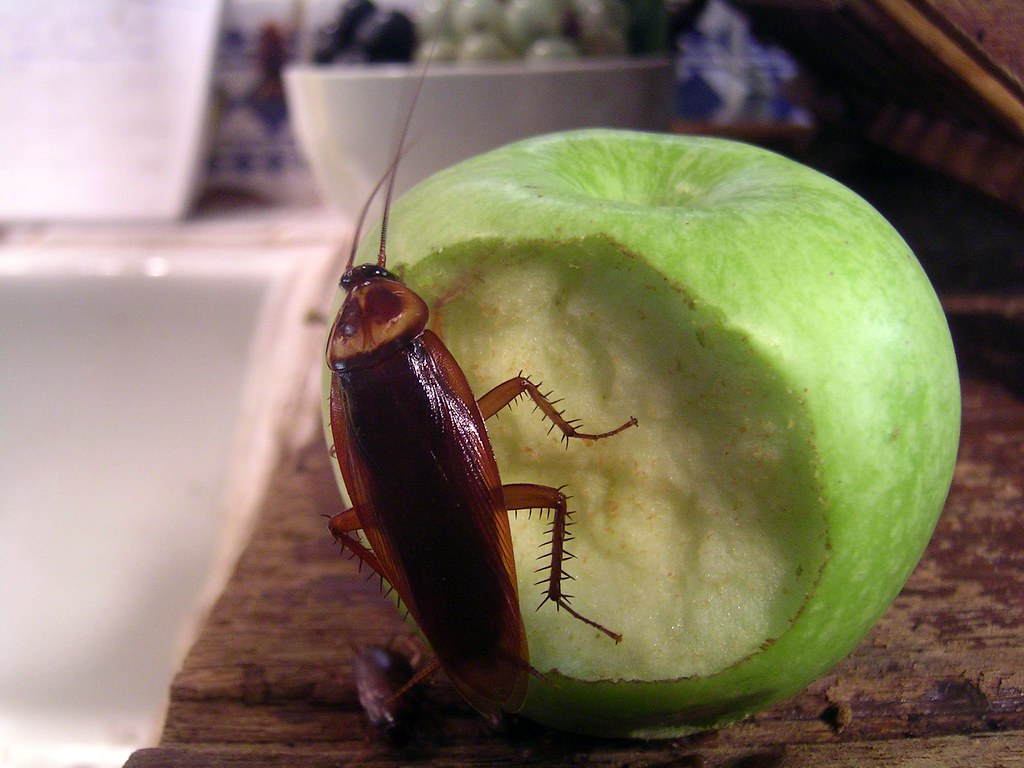 Cockroach on an apple | Cockroaches, everyone's favourite bu… | Flickr