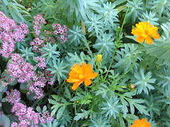 Sedum Vera Jameson, Blue Haze Euphorbia & Calendula
