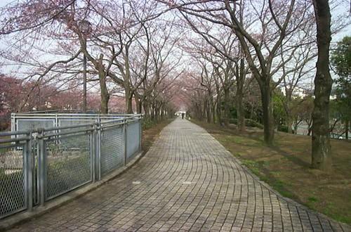 tunnel of sakura