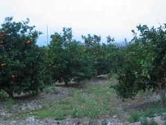 Camp de tarongers Molí el Canyisset