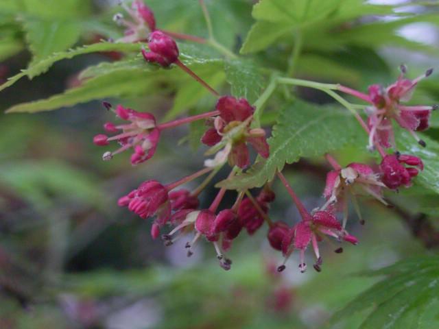 Maple Flower.