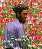 Afghani Poppy Farmer