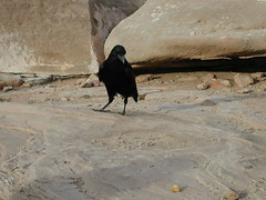 wild raven spies food