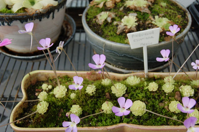 Pings!   Mexican Pinguiculas (Butterwort) in full bloom ...