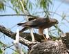 COLLARED SPARROWHAWK Accipiter cirrhocephalus by beeater
