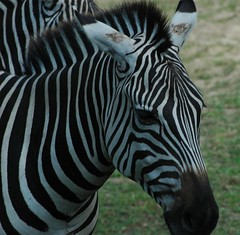 Animal Kingdom Zebra | by rumolay