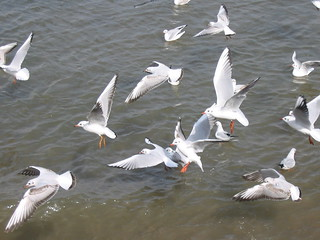 muscat gulls