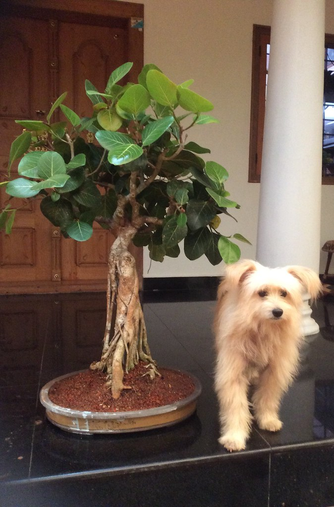 "Twenty five year old Ficus bengalensis ( Indian Banyan tree )  ""Peral"" in Malayalam language , repotted in an oval shaped shallow Chinese pot , from Tamarind Bonsai , Kottayam. -"