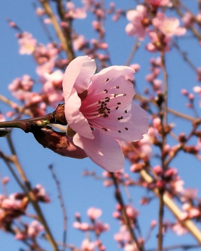 Fiori Pesco.Fiori Rosa Fiori Di Pesco Antonella Stecco Flickr
