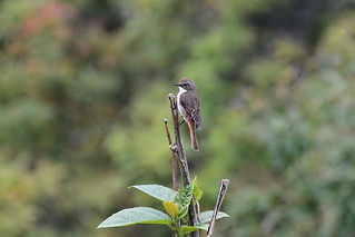 Серый чекан, Saxicola ferrea haringtoni, Grey Bushchat | by Oleg Nomad