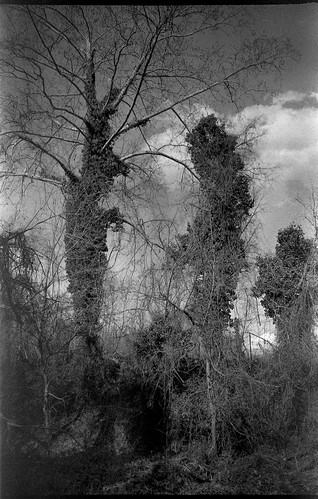 trees treetrunks ivy ivycovered forest landscape northasheville northcarolina olympusxa4 rolleiretro400s ilfordilfosol3developer 35mm 35mmfilm film monochrome monochromatic blackandwhite