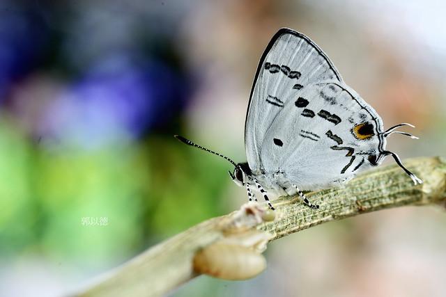 _APR1230蘭灰蝶(雙尾琉璃小灰蝶)Hypolycaena kina inari雄